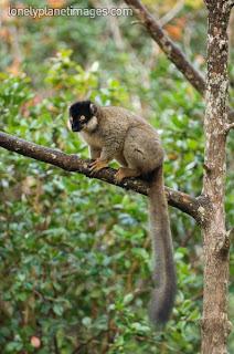 lemur marron Eulemur fulvus