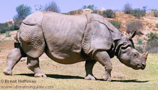 rinocerotidae rinoceronte indio Rhinoceros unicornis