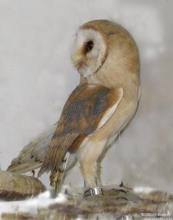 lechuza de campanario Tyto alba