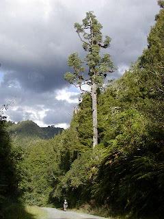 pino blanco Dacrycarpus dacrydioides