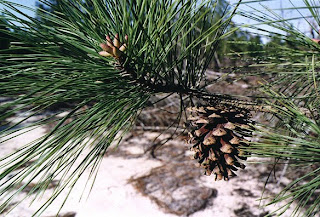 Pinus taeda y su relacion con la fauna