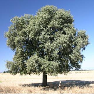 encina Quercus ilex