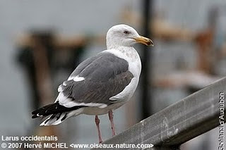 gaviota occidental Larus occidentalis