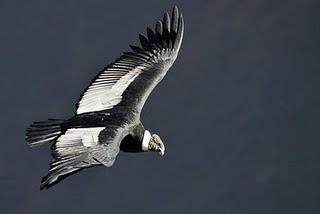 prehistoria y biologia del condor Vultur gryphus