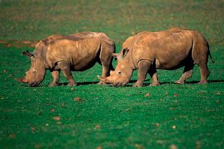 rinoceronte blanco Ceratotherium simum
