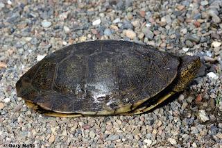 tortuga del pacifico Actinemys marmorata