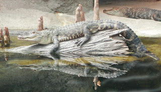 aligator de Mississipi Alligator mississippiensis