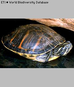 tortuga vientre rojo Pseudemys nelsoni