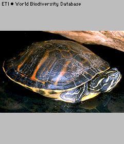 tortuga vientre rojo Pseudemys nelsoni