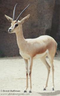 gacela dorca Gazella dorcas