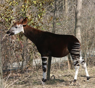 giraffidae Okapi Okapia jhonstonii