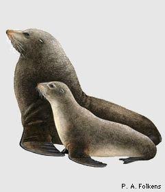 oso marino de Chile Arctocephalus philippi