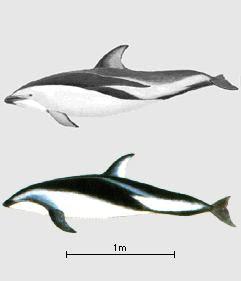 delfin oscuro Lagenorhynchus obscurus