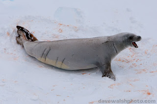 foca cangrejera Lobodon carcinophaga