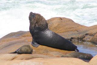 leon marino sudamericano Otaria flavescens