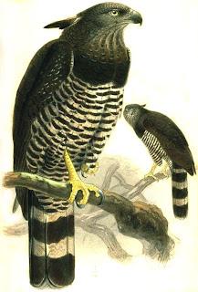 Aguila monera Morphnus guianensis birds of Argentina