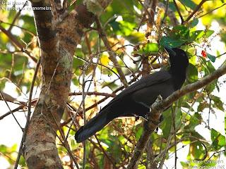 corvidos de argentina Urraca morada Cyanocorax cyanomelas