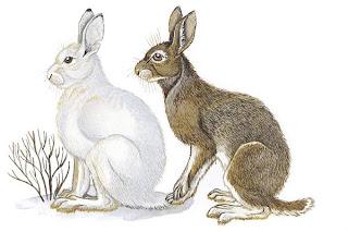 liebre de patas blancas Lepus americanus