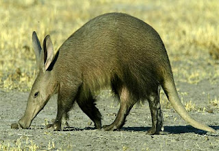 oricteropo Cerdo hormiguero Orycteropus afer