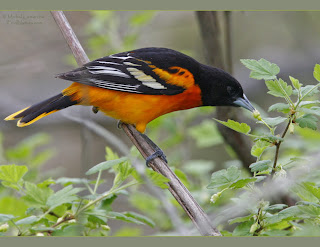 cacique veranero Icterus galbula the family Icteridae in America