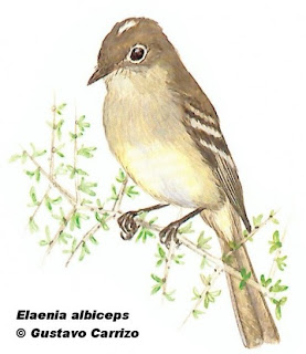 fio fio silbon Elaenia albiceps argentinian birds
