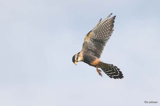 halcon aplomado Falco femoralis american birds