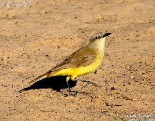 picabuey Machetornis rixosus ave de la ciudad argentina