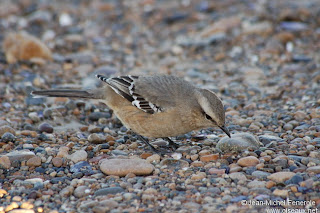 calandria gris Mimus patagonicus aves del sur de Argentina