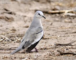 torcacita Columbina picui palomas argentinas