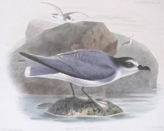 petrel azulado Halobaena caerulea