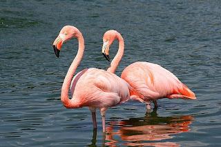 Flamenco rosado Phoenicopterus