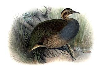 macuco Tinamus solitarius aves de Misiones