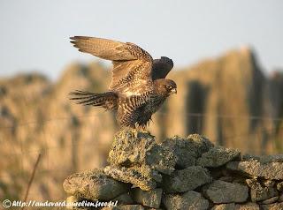 halcon gerifalte Falco rusticolus aves rapaces