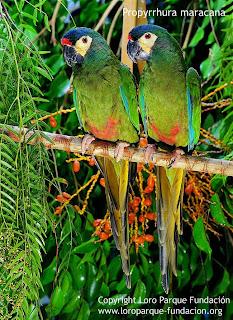 maracana lomo rojo Primolius maracana birds of Argentina