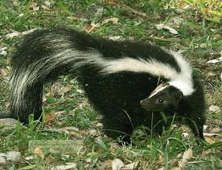 zorrino rayado skunk Mephitis mephitis
