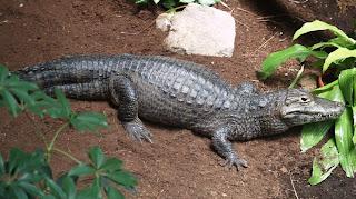 yacare negro Caiman yacare reptiles de Argentina