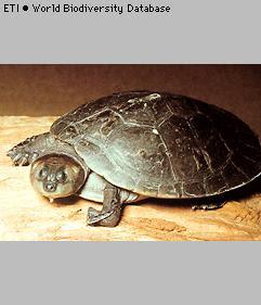 tortuga del rio amazonas Podocnemis sextuberculata