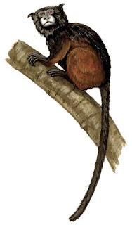 chichico de manto rojo Saguinus fuscicollis monos de america