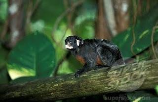 tamarino de vientre rojo Saguinus labiatus monos de Sudamerica