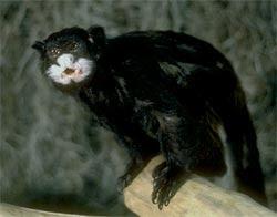 sagui de bigote Saguinus mystax monos de sudamerica