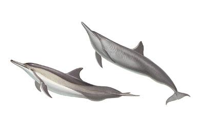 delfin tornillon Stenella longirostris mamíferos marinos