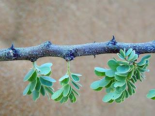 hojas leaves de Acacia mellifera