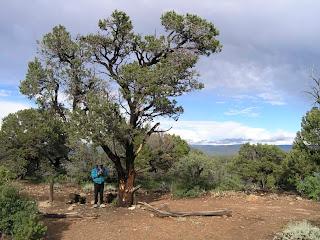 piñon Pinus edulis