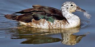 pato crestudao Sarkidiornis melanotos Patos de Argentina