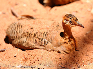 inambu colorado Rhynchotus rufescens aves de Argentina