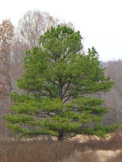 pino de incienso Pinus taeda