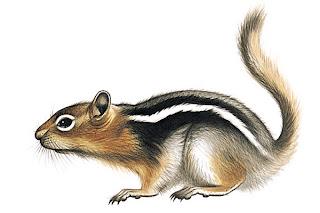 sciuridae Ardilla de manto dorado Spermophilus lateralis