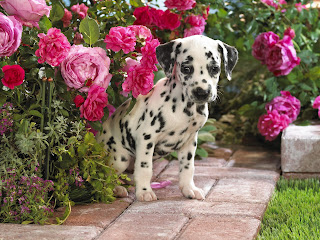 Dalmatian Little Dog Wallpaper