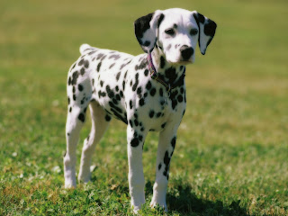 Dalmatian Puppies Wallpaper