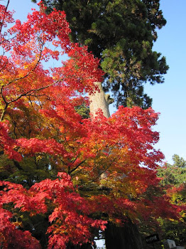 Red colored maple trees in Kyoto